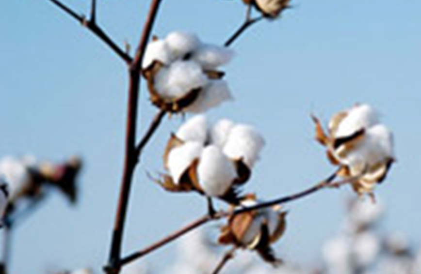 Fair gehandelte Baumwollbluete